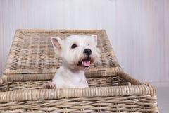 偷看在柳条筐外面的白色狗画象 免版税库存照片