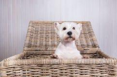 偷看在柳条筐外面的白色狗画象 库存图片