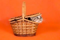 偷看在橙色背景的篮子外面的一只小小猫 图库摄影