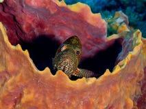 偷看在海绵外面的Graysby石斑鱼 免版税图库摄影