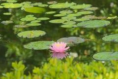 偷看在灌木是软的桃红色,唯一莲花,与黄色中心,在一个可爱的庭院池塘 免版税图库摄影