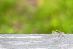 偷看在长凳板条的微小的雨蛙 免版税图库摄影