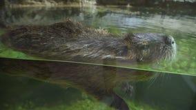 偷看在水外面的麝香鼠 动物的水鸟 股票录像
