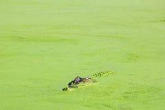 偷看在绿色池塘,澳大利亚外面的盐水鳄鱼 免版税库存照片