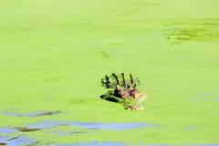 偷看在绿色池塘,澳大利亚外面的盐水鳄鱼 库存照片