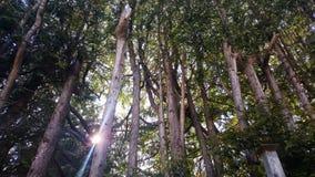 偷看星期日结构树 库存图片