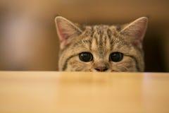 偷看某事的小猫 免版税库存图片