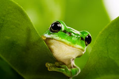 偷看的青蛙  免版税图库摄影