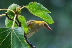 偷看通过叶子的母金黄金莺类 免版税库存图片