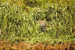 偷看通过在河岸的草的野生捷豹汽车 免版税图库摄影