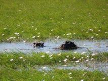 偷看通过在Chobe河,博茨瓦纳的Waterlilies的河马 免版税图库摄影
