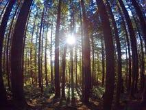 偷看通过森林墙壁的太阳 免版税库存图片