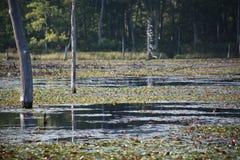 偷看通过沼泽的树 库存照片
