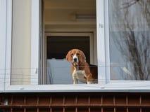 偷看通过阳台的狗 免版税库存照片