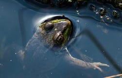 偷看青蛙 免版税库存图片