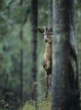 偷看从后面树的幼小马鹿雄鹿 免版税库存图片
