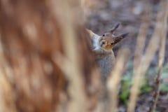 偷看从树的好奇棕色灰鼠 免版税库存图片