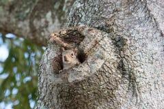 偷看从橡树凹陷III的东部灰色灰鼠 免版税库存照片