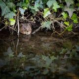 偷看从洞穴的野生水田鼠 免版税库存图片