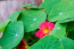 偷看从绿色叶子的一朵小桃红色花 免版税库存图片