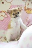 储蓄照片:使用在所有者床上的微小的奇瓦瓦狗小狗 库存图片