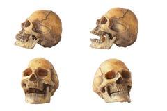 储蓄照片:头骨在被隔绝的白色背景的模型集合 库存照片