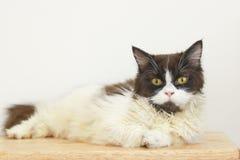 储蓄照片-摆在一只懒惰猫睡觉在地板上 免版税库存照片