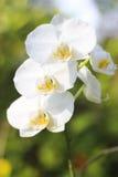 储蓄照片-白色兰花美好的颜色在庭院里 免版税库存图片