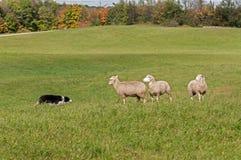 储蓄狗和绵羊(羊属白羊星座)隔离 免版税图库摄影