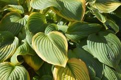 催促在秋天的玉簪属植物叶子的 库存照片