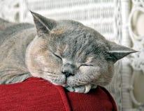 催眠曲猫咪 库存图片