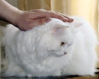 傲慢的猫 免版税图库摄影