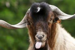 傻的山羊 免版税库存图片