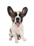 傻bernard愉快的小狗的圣徒 库存照片