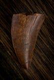 僵化的恐龙牙,可能的惧龙 免版税库存照片