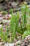 僵硬的clubmoss在老叶子之间的森林里增长 免版税库存照片