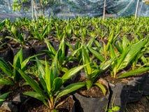 婴儿润肤油棕榈树  免版税图库摄影