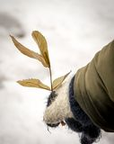 儿童手与在冬天上升了叶子 免版税库存照片