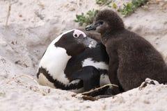 儿童母亲企鹅 免版税库存照片