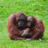 儿童母亲猩猩 库存图片