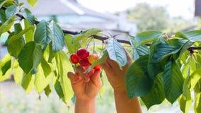 儿童的手采从分支的樱桃 免版税库存图片