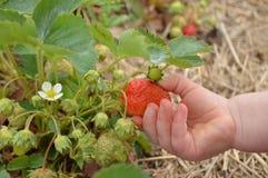 儿童采摘草莓 免版税库存照片