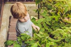 儿童采摘莓 孩子摘在有机raspbe的新鲜水果 免版税库存照片