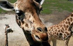 儿童长颈鹿母亲 库存照片