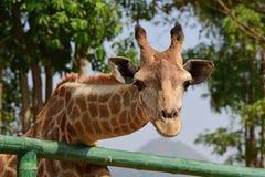 儿童饲料长颈鹿用手 免版税库存照片