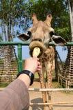 儿童饲料长颈鹿用手 库存照片