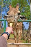 儿童饲料长颈鹿用手 免版税库存图片
