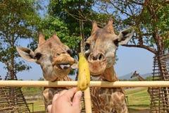儿童饲料长颈鹿用手 库存图片