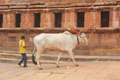 儿童骑马公牛在村庄,印度 图库摄影