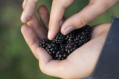 儿童黑莓采摘 免版税库存照片